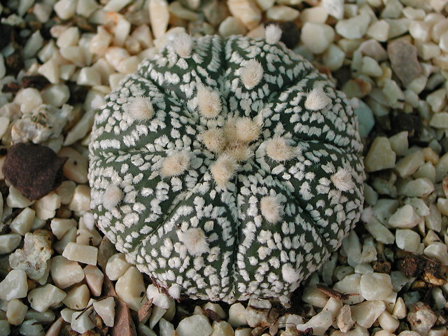 Astrophytum asterias Super-Kabuto