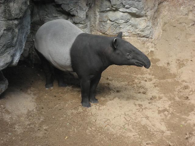 NYC - Bronx - Bronx Zoo: Jungle World - Malayan Tapir
