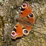 Tagpfauenauge (Aglais io) im Schellenberger Wald
