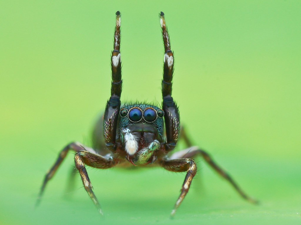 Siler Semiglaucus Jump Spider Tran The Ngoc Flickr