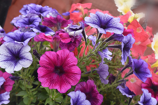 Colour of Petunias