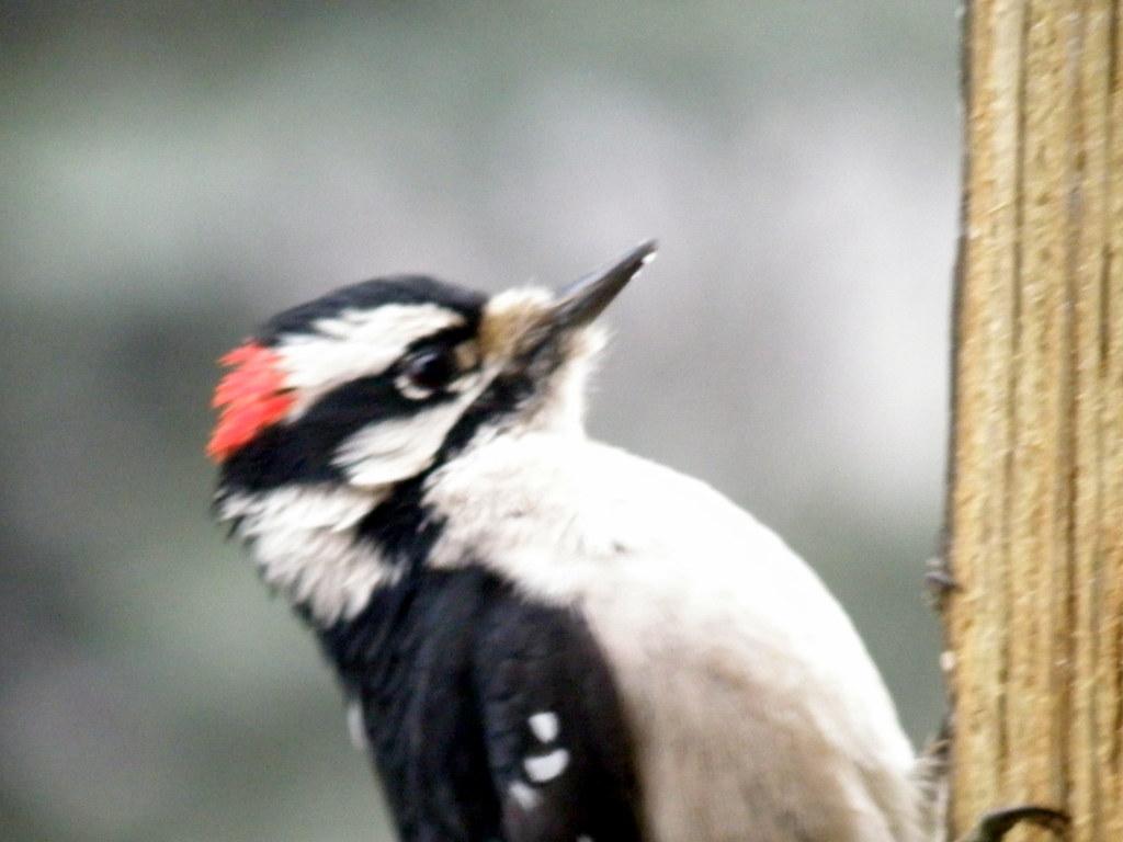 P1083109...downy woodpecker