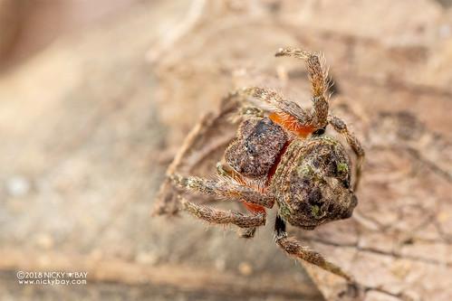 Broad-headed bark spider (Caerostris sp.) - DSC_1683 | by nickybay