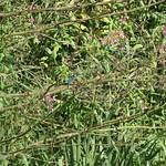 Gut versteckt: Eisvogel (Alcedo atthis)