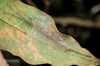 Long-legged sac spider (cf. Donuea sp.) - DSC_1681   by nickybay