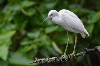 Little Blue Heron (Juv.) | by JDA-Wildlife