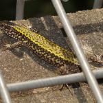 Mauereidechse (Common Wall Lizard, Podarcis muralis)