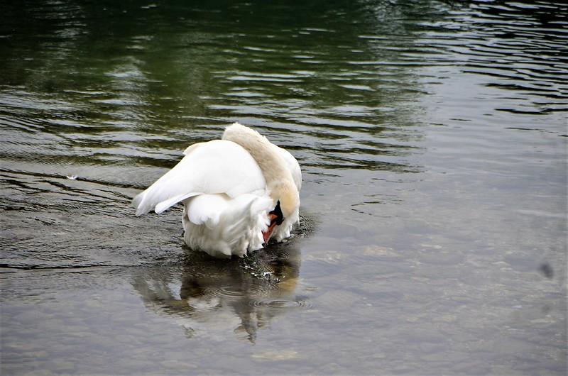 Swan 02.08 (1)