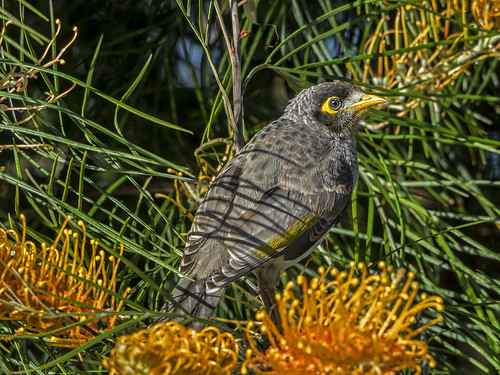 Noisy Miner (2) | by bidkev1 and son (see profile)
