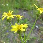 Schmalblättriges Greiskraut (Narrow-leaved Ragwort, Senecio inaequidens)