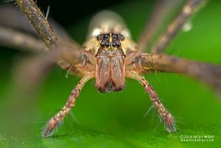 Pisaurid spider (cf. Pisauridae) - DSC_9730   by nickybay