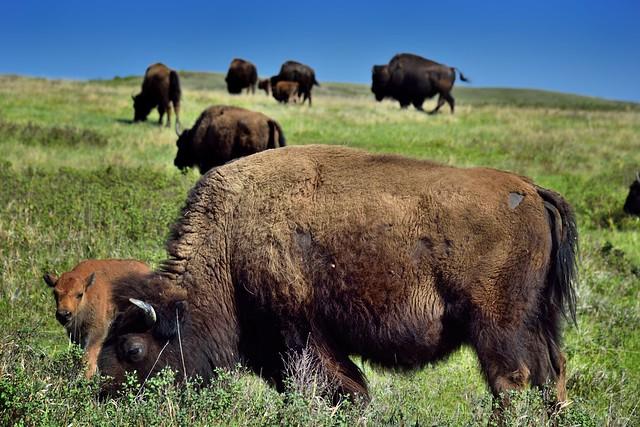 Bison Grazing on Prairie Grasses (Theodore Roosevelt National Park)