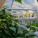 Summer 2018 : HPA in greenhouse