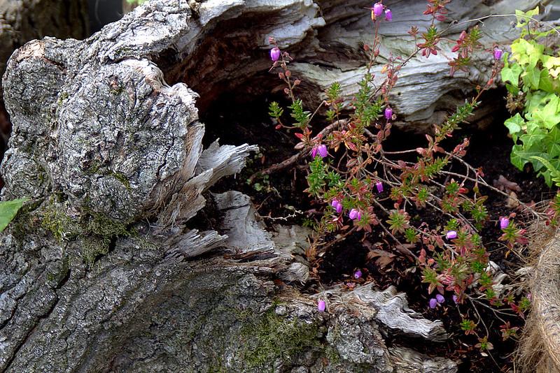 un poema natural: en un tronco hueco ¡como brillan las flores del brezo vizcaíno!