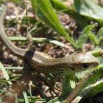 Zauneidechse (Sand Lizard, Lacerta agilis), Jungtier