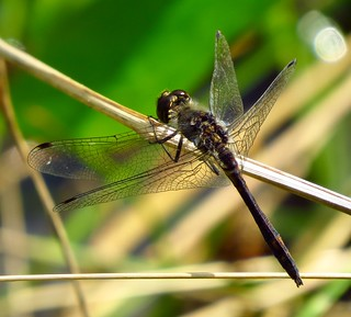 Black Darter at Oakhill