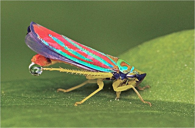 Red Banded Leafhopper