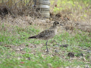 Pacific-Golden Plover 9/2/18 | by redcoot22