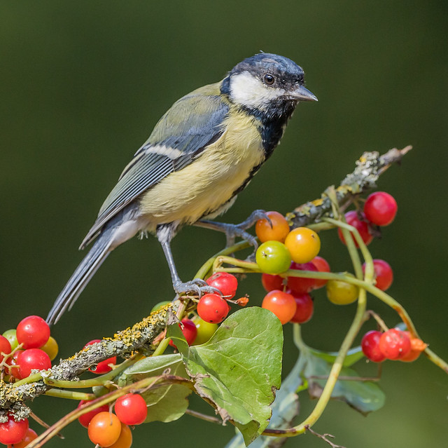Great tit on Black bryony berries at Millers wood