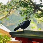 Cuervo en Fushimi  Inari Taisha