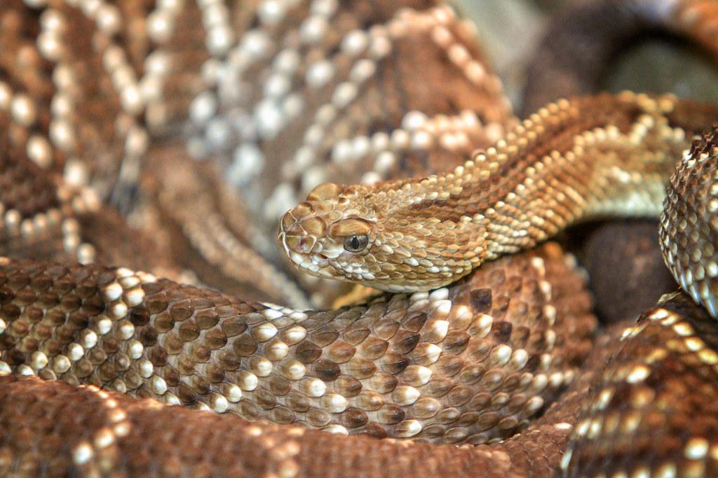 Neotropical Rattlesnake