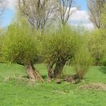 Kopfweiden im NSG Flittarder Rheinaue