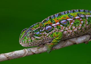 Jeweled chameleon