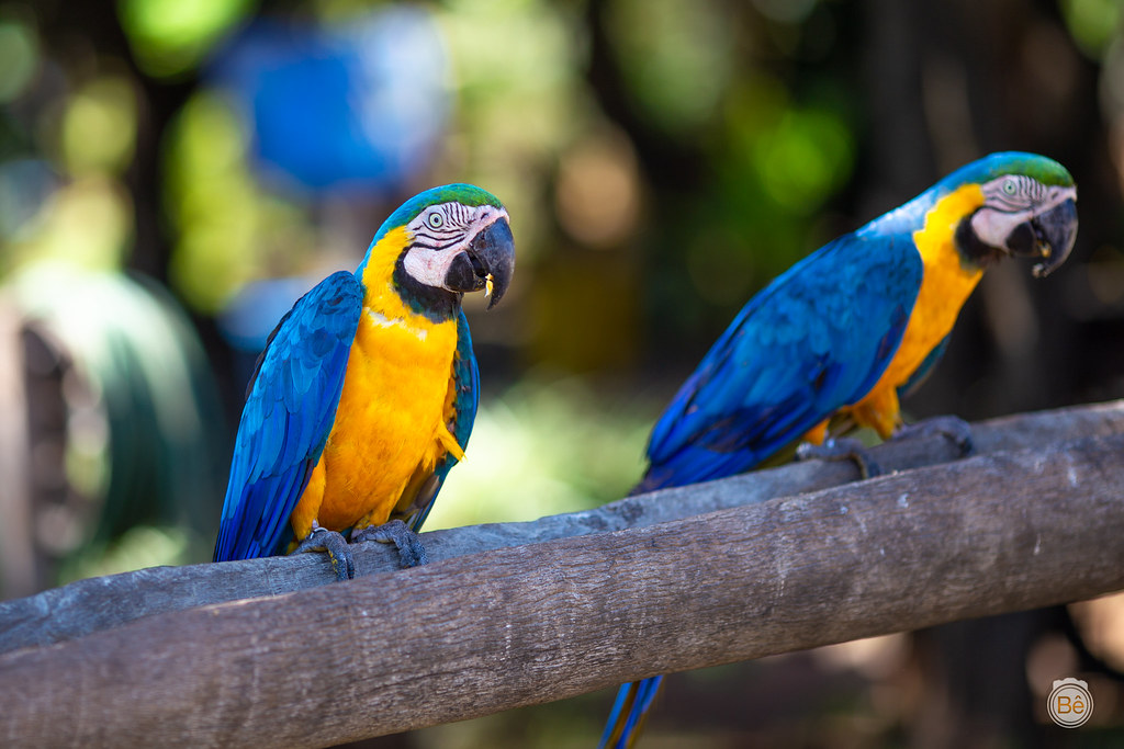 IMG_8152 Araras - Pantanal - Brasil