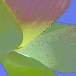 Lotus_July 2018