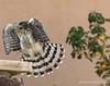 Cooper's Hawk-Juvenile 1st yr. by GH Rancher