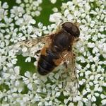 Gemeine Keilfleckschwebfliege (Tapered Drone Fly, Eristalis pertinax)
