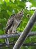 Wallace's Hawk-eagle  (juvenile) by christopheradler