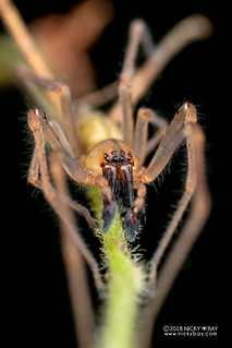 Long-legged sac spider (cf. Cheiracanthium sp.) - DSC_8906 | by nickybay