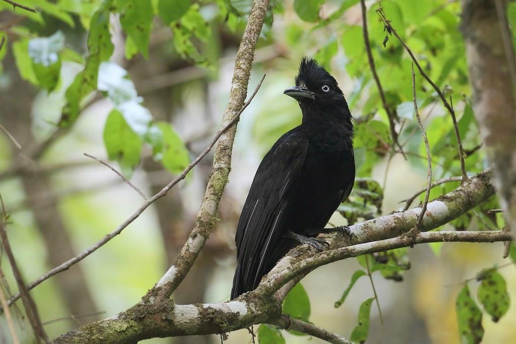 Amazonian Umbrellabird / Pajaro-Paraguas Amazónico (Cephalopterus ornatus)