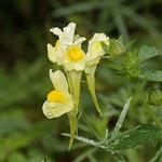 Gewöhnliches Leinkraut (Common Toadflax, Linaria vulgaris)