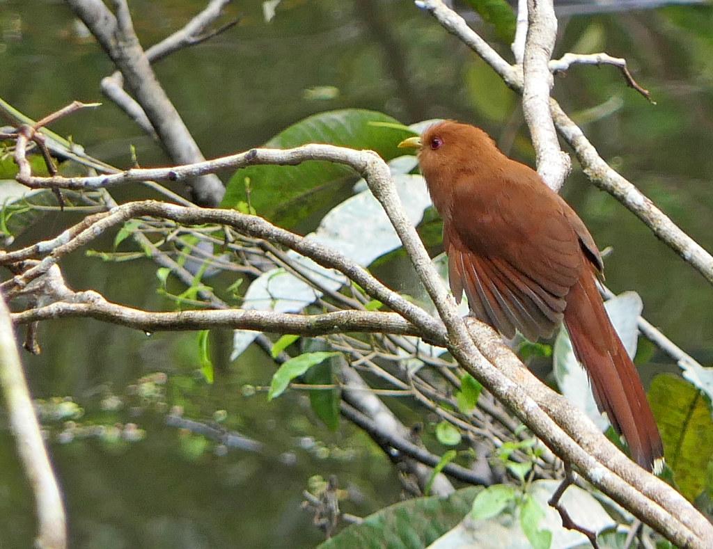 Cuco Enano, Little Cuckoo (Piaya minuta) (Coccycua minuta)