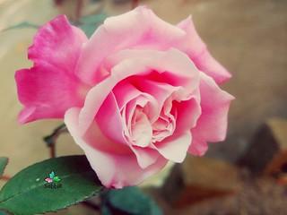 Pink Rose ©Zakir