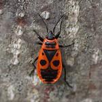 Gemeine Feuerwanze (Firebug, Pyrrhocoris apterus)