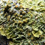 Gewöhnliche Gelbflechte (Common Orange Lichen, Xanthoria parietina)