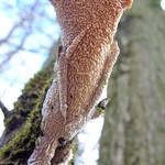 Kreisförmiger Reibeisen-Rindenpilz (Toothed Crust Fungus, Hyphoderma radula)
