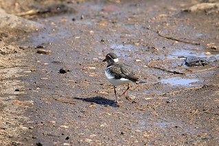Three-banded plover   by dmmaus