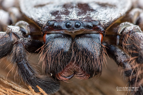 Huntsman spider (Damastes sp.) - DSC_1968 | by nickybay