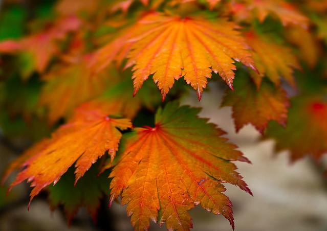 Red leaves in Kenroku-en garden, Ishikawa Prefecture, Kanazawa, Japan