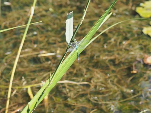 Dragonfly resting on the green leaf | by Ciddi Biri