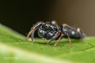 Ant-mimic jumping spider (Hispo tenuis) - DSC_0261 | by nickybay