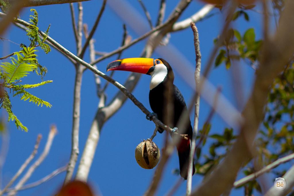 IMG_8190 Tucano - Pantanal - Brasil