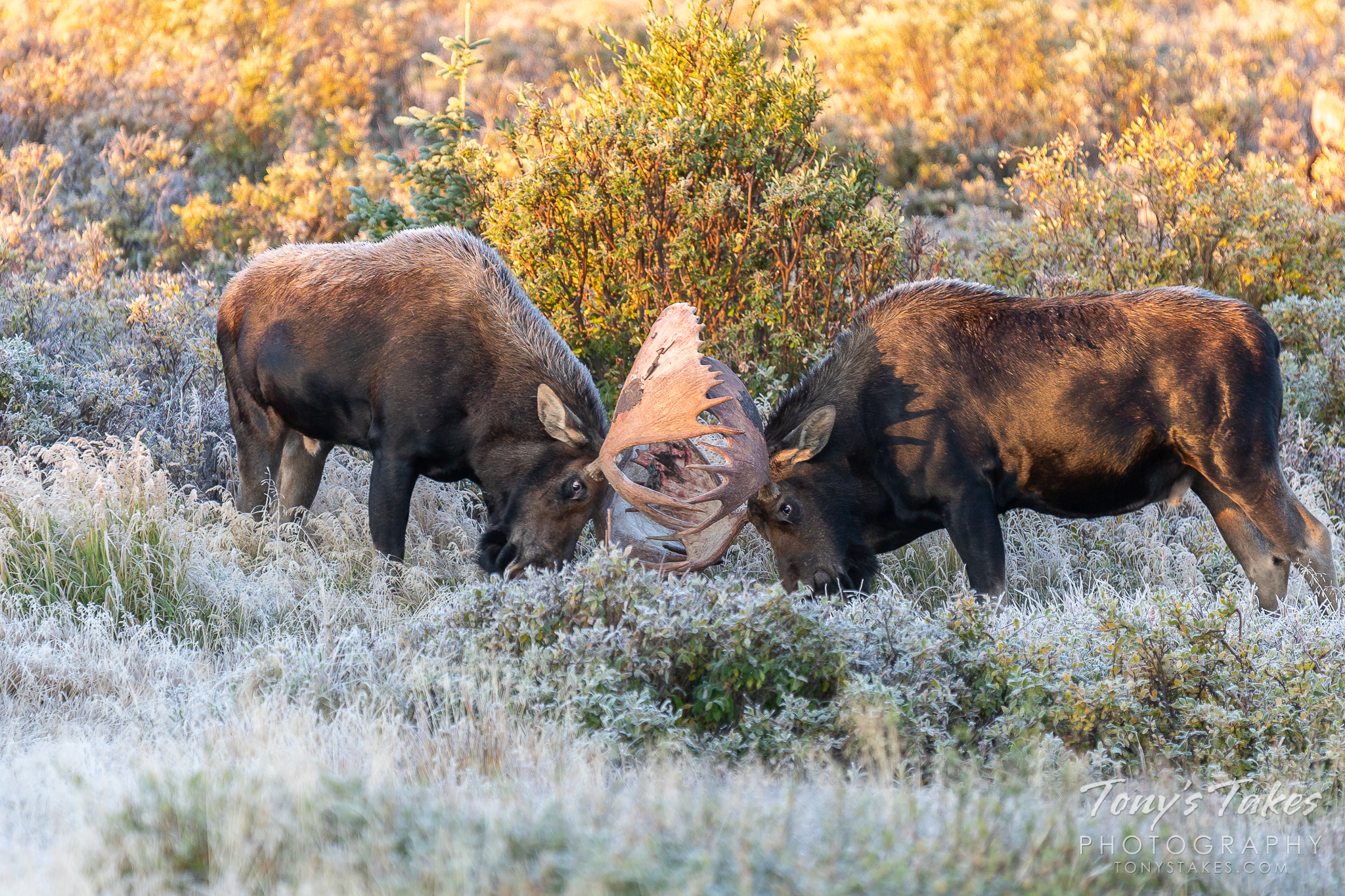 Moose bulls head to head on a frosty high country morning