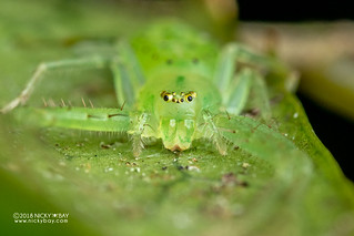 Green crab spider (Oxytate sp.) - DSC_2467 | by nickybay