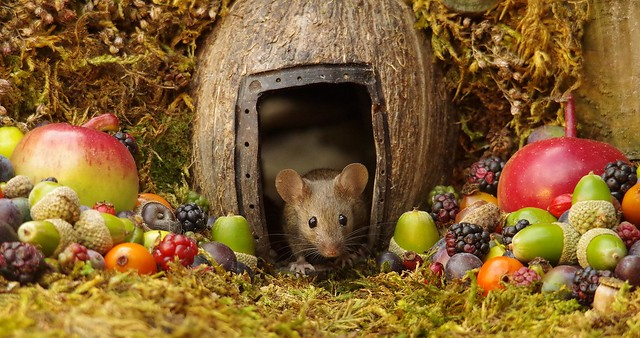 wild house mouse in log pile  with fruits and berry's (8)