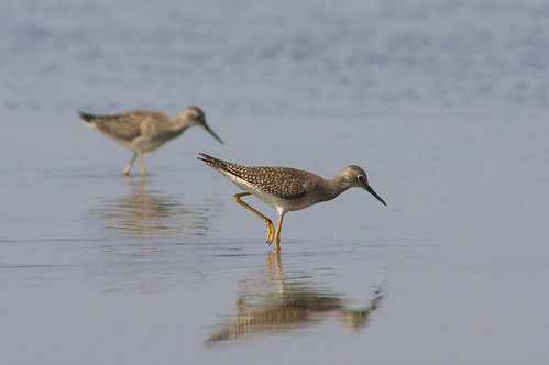 Lesser Yellowlegs 4 | by 9brandon